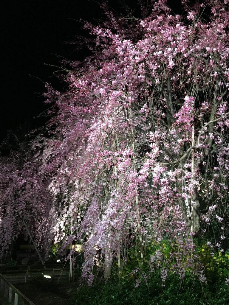 南蔵院の夜桜